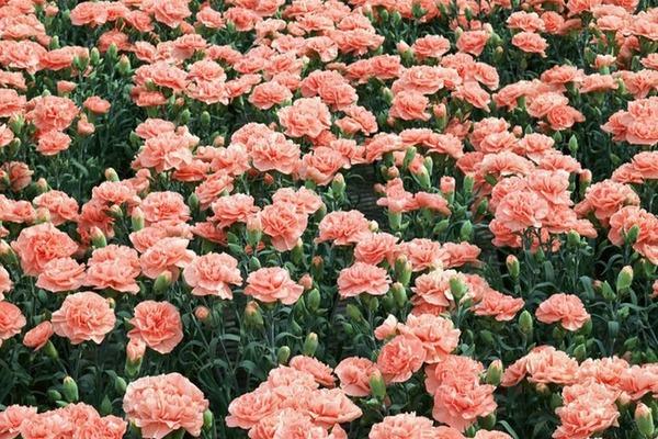 выращивание цветов в теплице как бизнес гвоздика