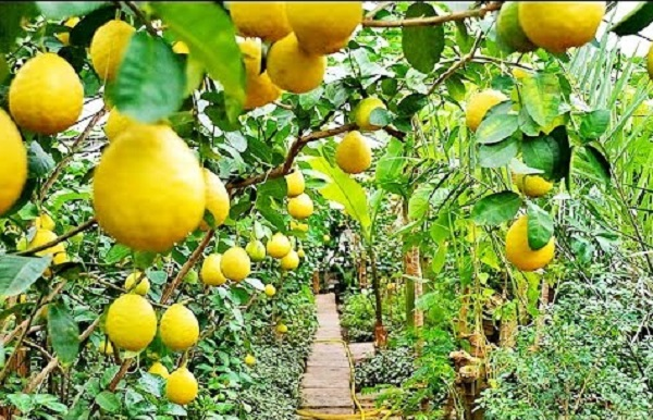 лимон выращивание в теплицах как бизнес