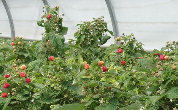 малина выращивание в теплице как бизнес