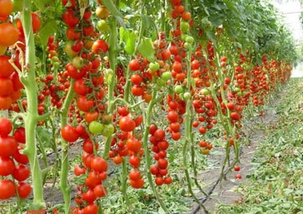 Выращивание овощей в теплице как бизнес – как получить выгоду от фермерства
