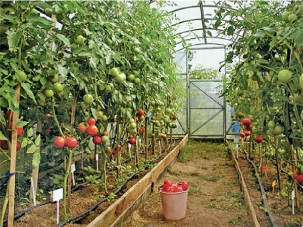 выращивание в теплице как бизнес