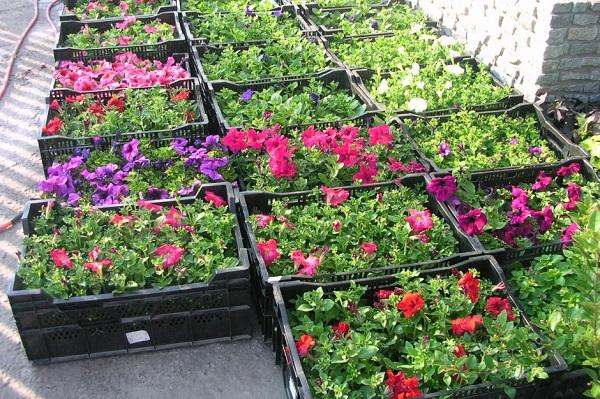 рассада цветов бизнес