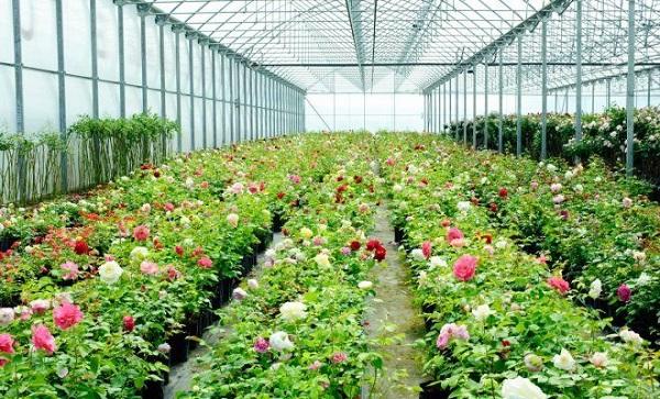 выращивание роз в теплице как бизнес