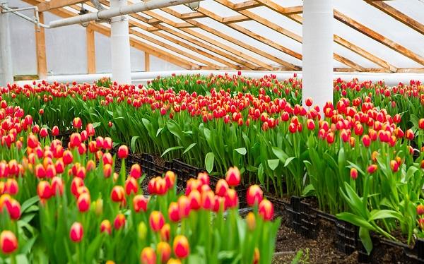 Выращивание цветов в теплице как бизнес — реализация тюльпанов, роз и гвоздик