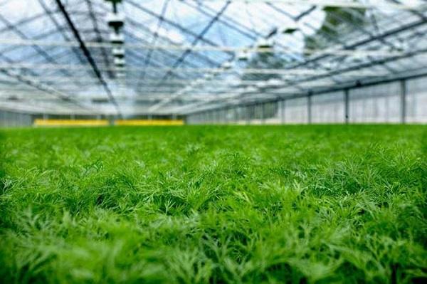 укроп выращивание зелени как бизнес