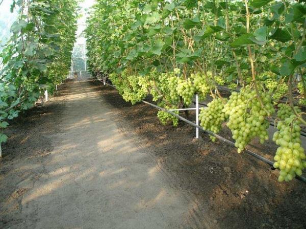 виноград выращивание в теплицах как бизнес