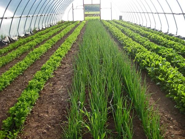 теплица выращивание зелени как бизнес